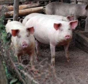 План за предотвратяване разпространението на Африканска чума по свинете у нас