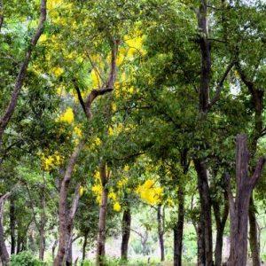 Кои са лечебните свойства на сандаловото дърво?
